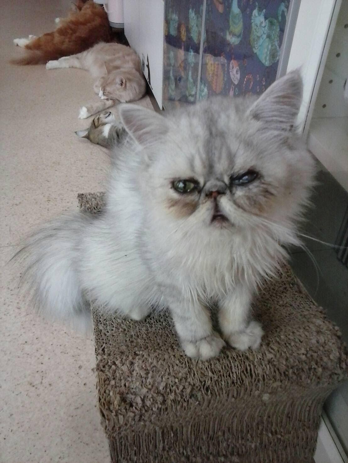 猫の部屋ブログ ペルシャチュッペくん