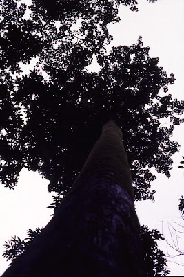 An evergreen tree inside the rainforests of Bisle reserve forest in Hassan District's Sakleshpur taluk
