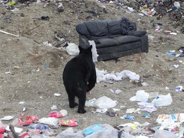 Τι κάνει μια αρκούδα όταν βρει έναν παλιό καναπέ; (1)