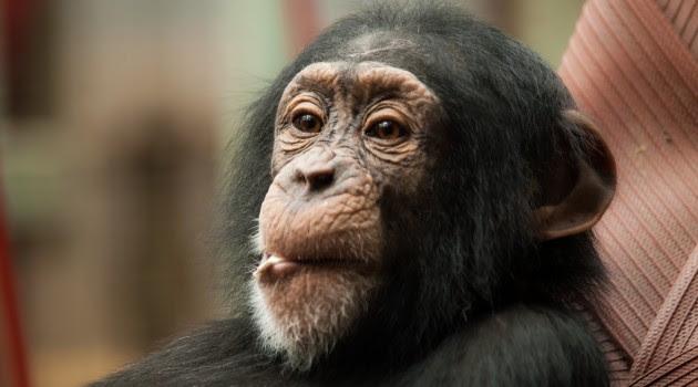 Los chimpancés se comen a los individuos jóvenes de grupos rivales para luchar por el territorio