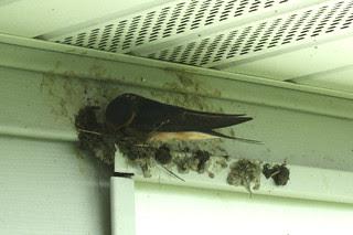 Barn swallow building