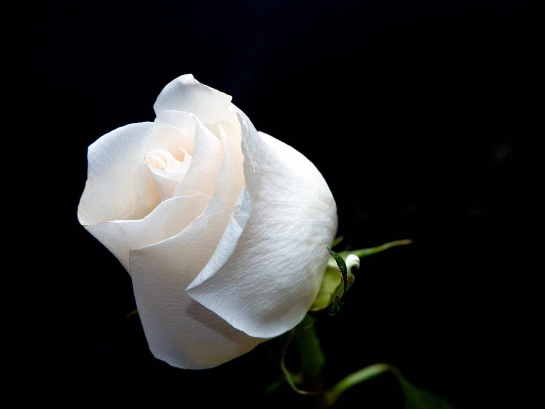 Flor De Rosa Blanca Imágenes Y Fotos