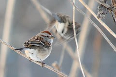 winter song sparrow IMG_0065