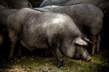 Os cientistas esperam que a sequenciação do genoma do porco ajude a desenvolver animais mais produtivos para a pecuária