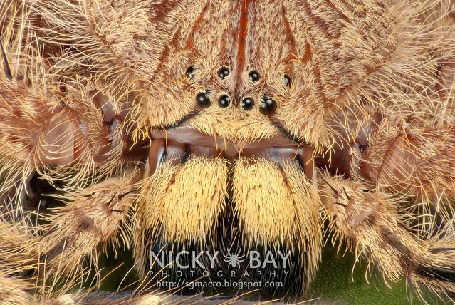 Huntsman Spider (Sparassidae) - DSC_9817