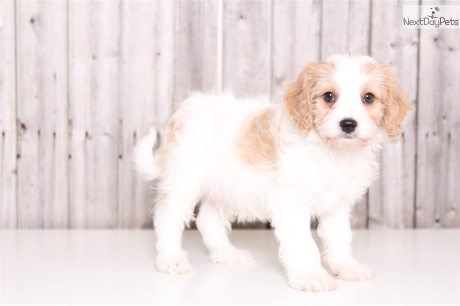Cavachon puppy for sale near Iqaluit Nunavut Canada