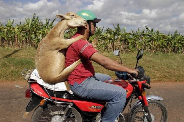 Em janeiro de 2011, um cubano foi fotografado carregando um carneiro em uma moto em uma estrada em Havana, capital do país. (Foto: Franklin Reyes/AP)