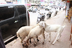 goats are polygamous by nature by firoze shakir photographerno1