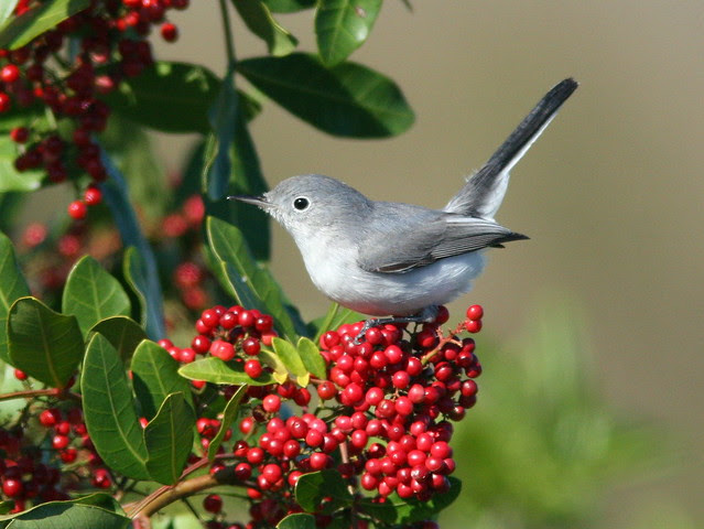 Blue-gray Gnatcatcher 20100108