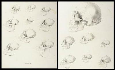 Ape and Human skulls