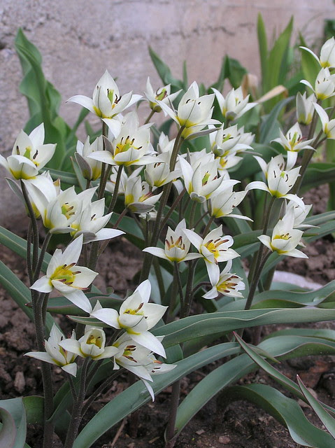 Tulipa tukestanica