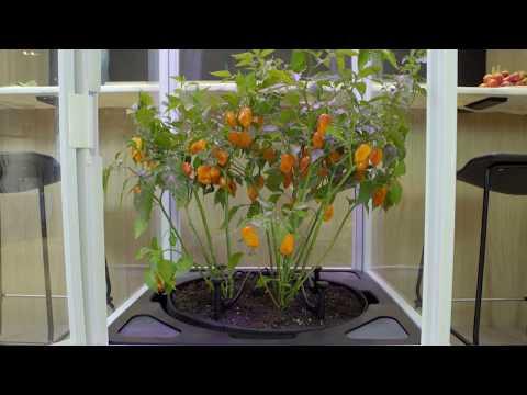 .你見過全自動室內栽培箱嗎?想在家種啥都成