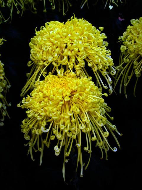 Yellow Chrysanthemums IMG_0627