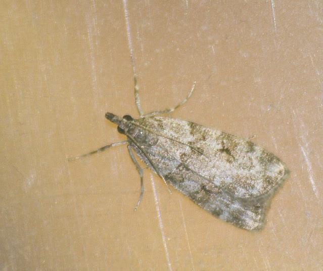 Scoparia-Eudonia sp micro moth DSC_4096
