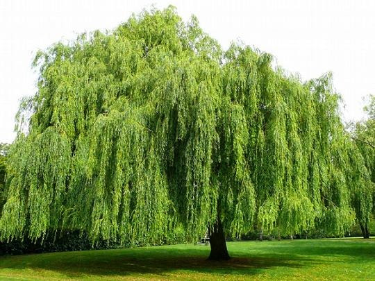 22 Chinese Meaning Of Willow Tree Chinese Of Meaning Willow Tree