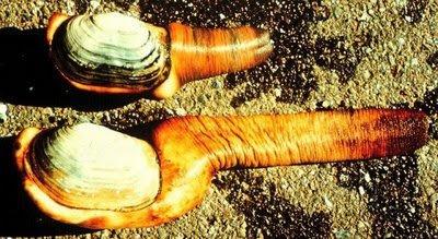 532957Geoducks 3 Worlds Strangest Species – Geoducks  Pictures Seen on www.VyperLook.com