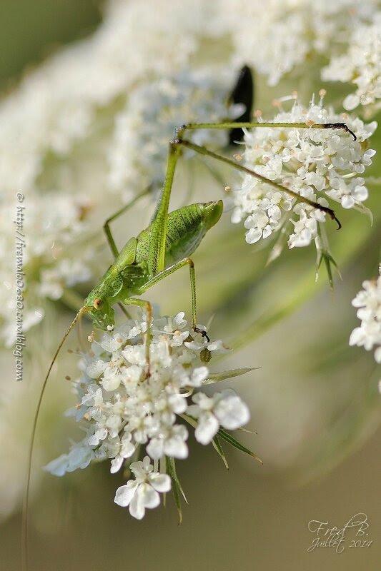 Phaneroptera falcata ♀