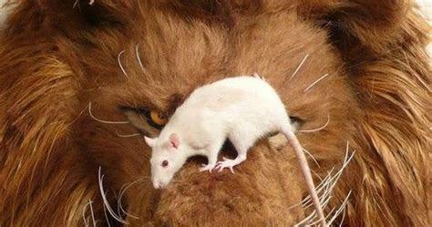 kisah tikus  membunuh singa kata motivasi