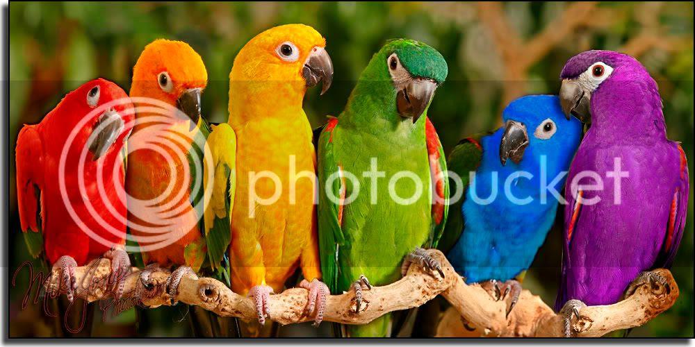 colorful parrots photo: Colorful parrots parrots-1.jpg