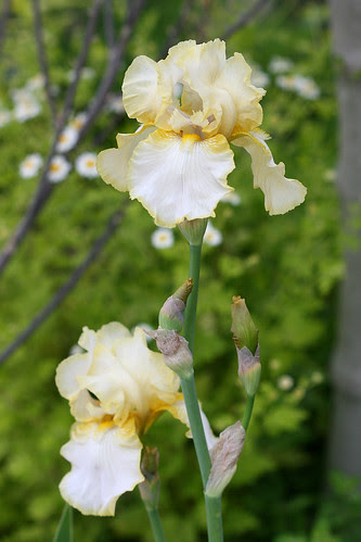bearded iris white and yellow