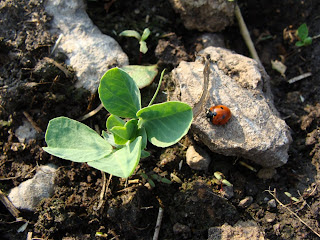 Lincoln pea seedling and ladybird