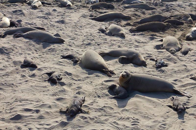 IMG_1369 Elephant Seal