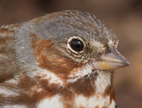 Fox Sparrow detail
