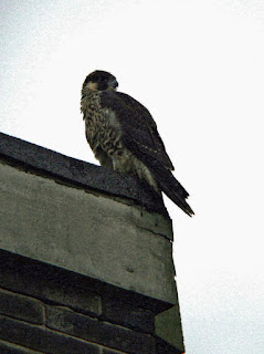Our juvenile on a nearby roof, Sunday 24