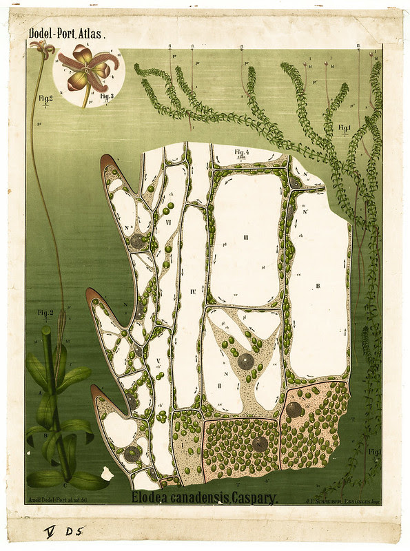 Elodea canadensis, Gaspary