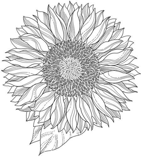 Sunflower Drawing Black And White At Getdrawingscom Free For