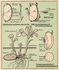 pomme de terre 1