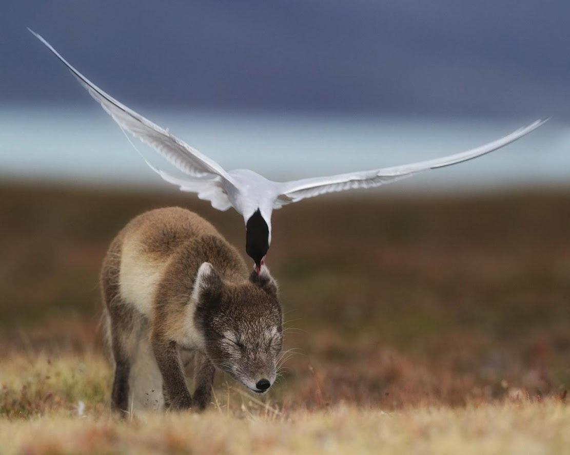 Полярная крачка дает отпор молодому песцу, позарившемуся на гнездовальную территорию