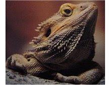 Lagarto dragão