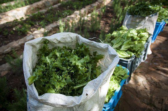 El proyecto fomenta la comercialización directa para que los productos lleguen frescos del campo a la mesa. Foto: Irene Pérez/ Cubadebate.
