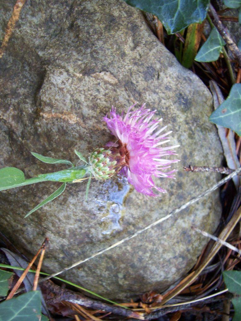 Centaurée - Photo de fleur sauvage