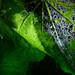 webbed hollyhock leaf