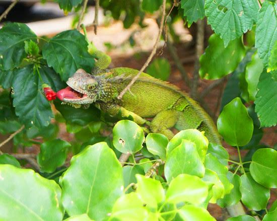 Panama: Iguana