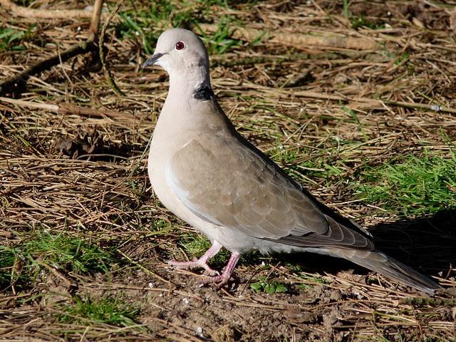24023 - Collared Dove, WWT Llanelli