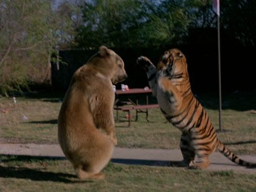 The Beasts are on the Streets - Bear vs. Tiger