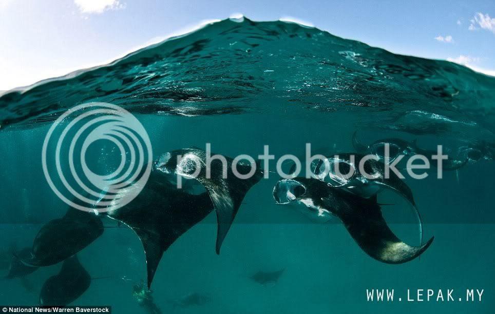 ikanparigergasi1 Gambar Ikan Pari Gergasi Terbesar Di Dunia