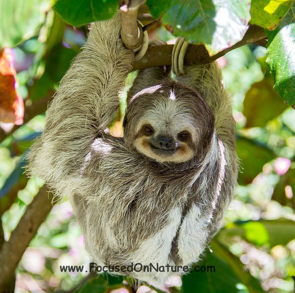 Three-toed Sloth (Rescued)