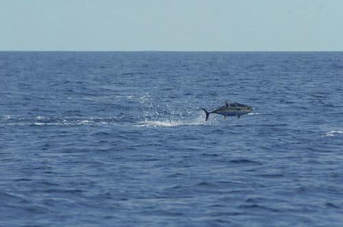 tuna jumping