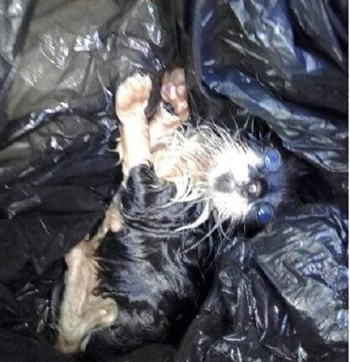 Gatito de tres semanas de edad es atado en una bolsa de basura y arrojado a un lote vacío