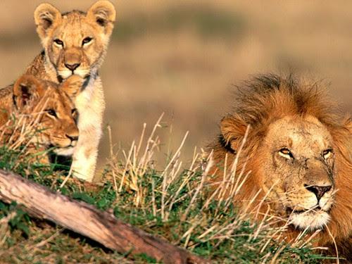 kazaAfrican Lions