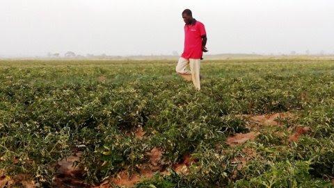 Un granjero camina entre su plantación de tomates en la localidad nigeriana de Kadawa. AFP