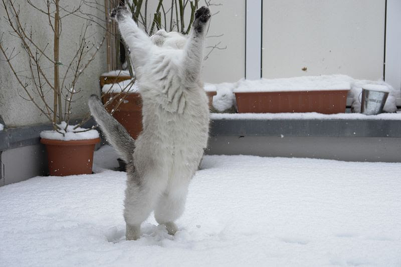 File:Cat dancing in the snow-Tscherno.jpg
