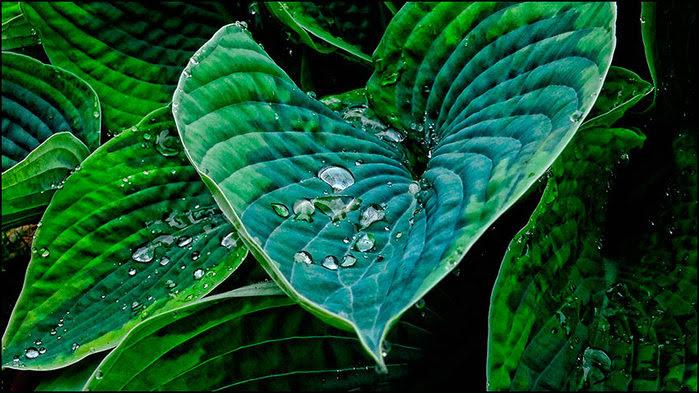 Капли на листьях/3673959_3 (700x393, 109Kb)