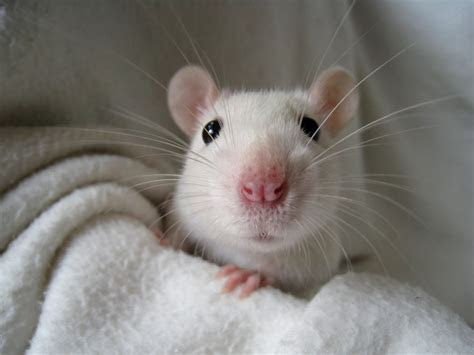 rats make great pets 14   Suggested Post
