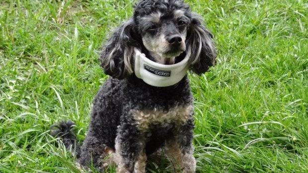 ¿Cómo atender a tu perro en un accidente de tráfico?