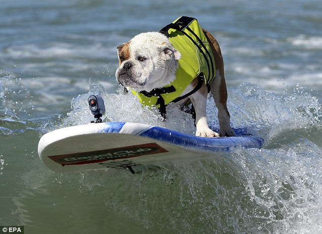 The Boss: Louie, an old English Bulldog, looks unimpressed with his very uncool fluorescent life jacket